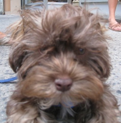 brown shihpoo